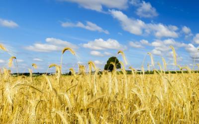 La cosecha mundial de cereales 2017/2018 aumenta.